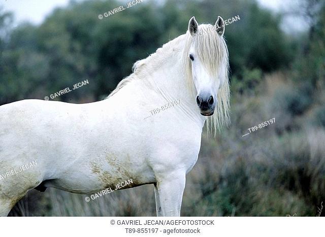 Camargue horse Equus caballus