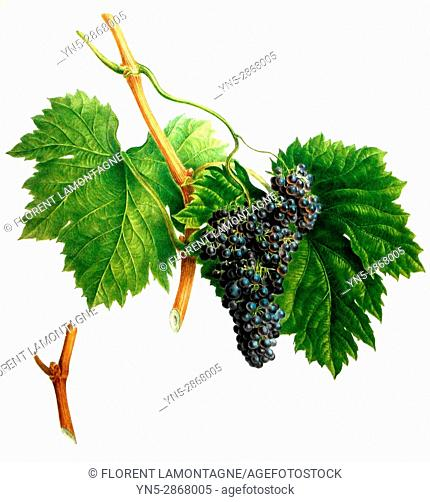 Old botanical board of the grappe species muscat noir