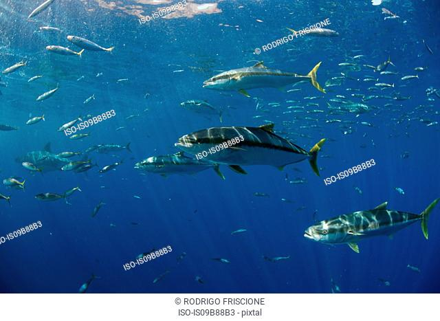 School of Yellowtail (Seriola quinqueradiata) swimming close to surface, Guadalupe, Mexico