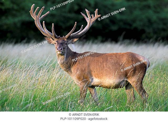 Red deer stag Cervus elaphus with antlers covered in velvet in summer, Denmark