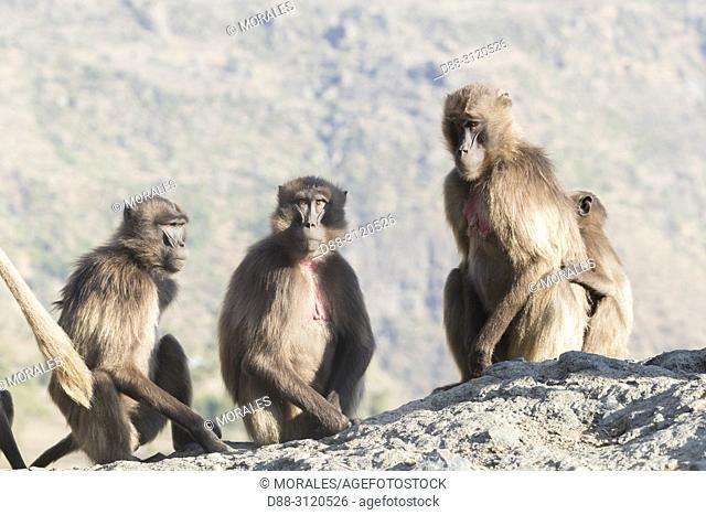 Africa, Ethiopia, Rift Valley, Debre Libanos, Gelada or Gelada baboon (Theropithecus gelada), group of females with babies