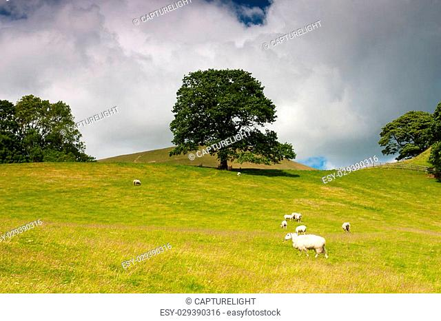 On the pasture in Sedbergh,Yorkshire Dales National Park,Cumbria, England