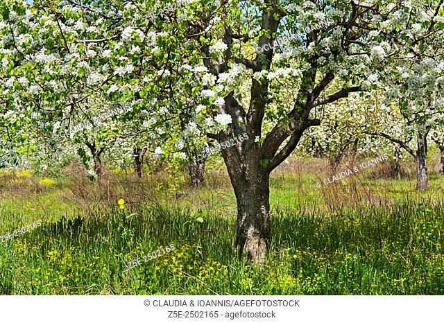 Blooming pear tree on Pelion Peninsula, Thessaly, Greece