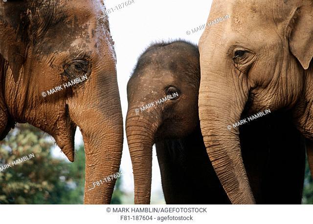 Asian Elephants (Elephas maximus)
