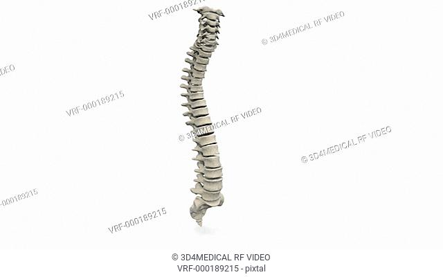 Animation depicting a full rotation of the spinal column