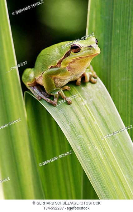 Common Tree Frog (Hyla arborea). Isle of Ruegen. Mecklenburg Western Pomerania, Germany