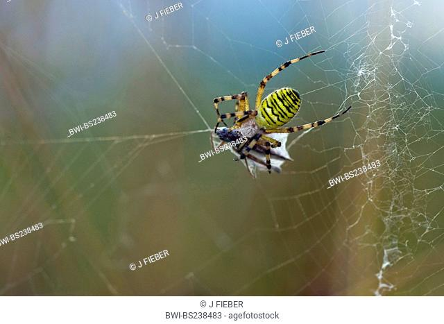 black-and-yellow argiope, black-and-yellow garden spider Argiope bruennichi, sitting in its web with prey, Germany, Rhineland-Palatinate