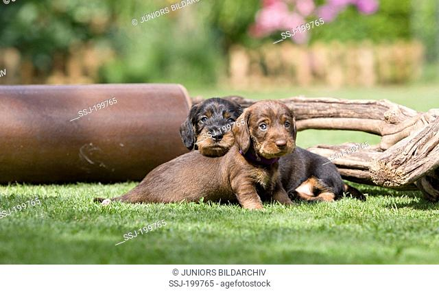 Wire-haired Dachshund. Pair of puppies on a lawn next to earthenware pipe and wood. Germany