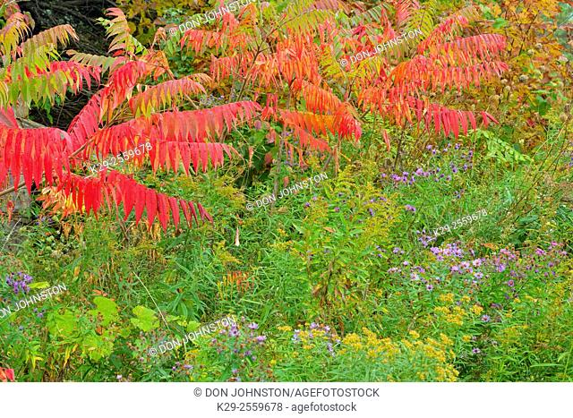 Late summer asters and staghorn sumac (Rhus typhina) in autumn colour, Moonstone, Ontario, Canada