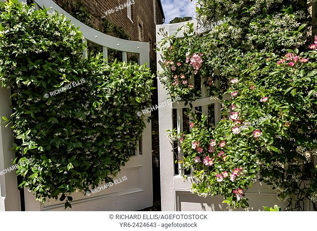 Confederate jasmine and climbing roses blooming on a gate along Church Street in historic Charleston, SC