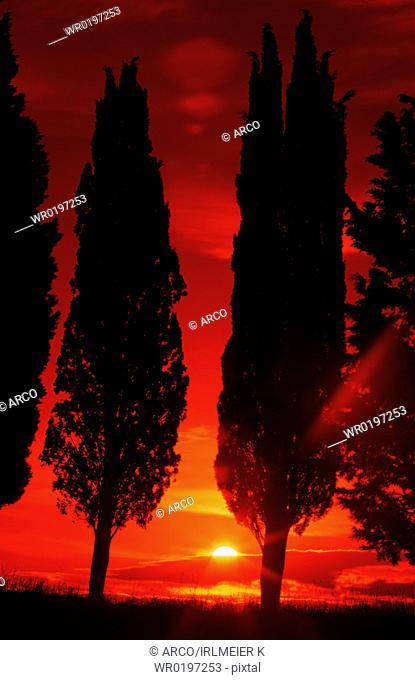 Italian, Zypresses, at, sunrise, Tuscany, Italy,Cupressus, sempervirens