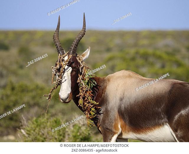 Bontebok (Damaliscus pygargus) with a piece of sour fig, Cape fig or Hottentots fig (Carpobrotus edulis) draped over its horns. De Hoop Nature Reserve