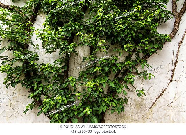 A vine on a wall at Dr Sun Yat-Sen Classical Chinese Garden, in Chinatown, Vancouver, BC, Canada