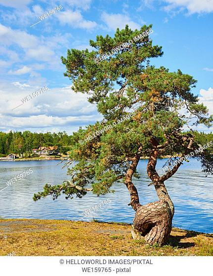 Tree with gnarled trunk in the Ostra Lagno nature reserve on the coast of Ljustero, Stockholm County, Sweden, Scandinavia