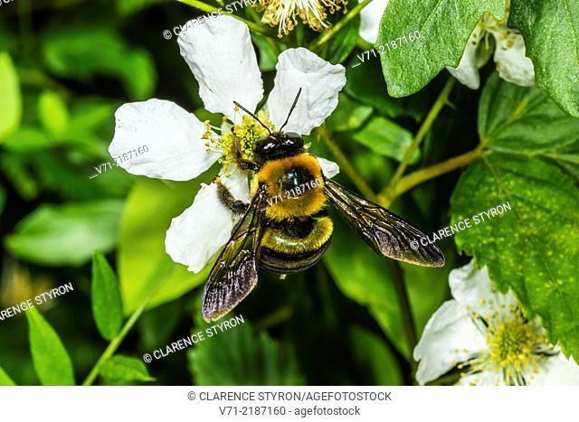 Digger Bee (Anthophora abrupta) on Running Raspberry (Rubus sp.)
