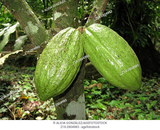 Cacao fruit in the tree, Sucre State Venezuela