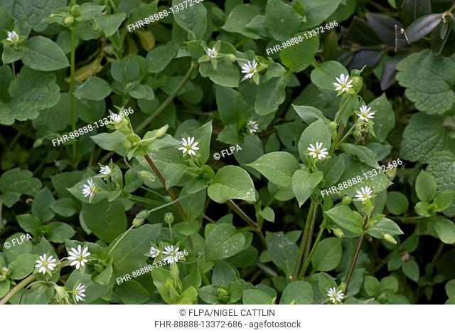 Chickweed, Stellaria media, flowering in early spring, an important weed of gardens and agricultural crops