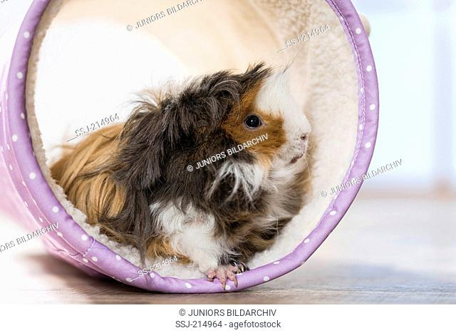Guinea Pig, Cavie. Long-haired (Lunkarya) adult in a toy tunnel. Germany