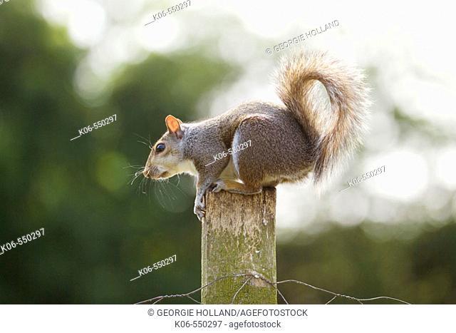 Grey squirrel (Sciurus carolinensis) on post. UK