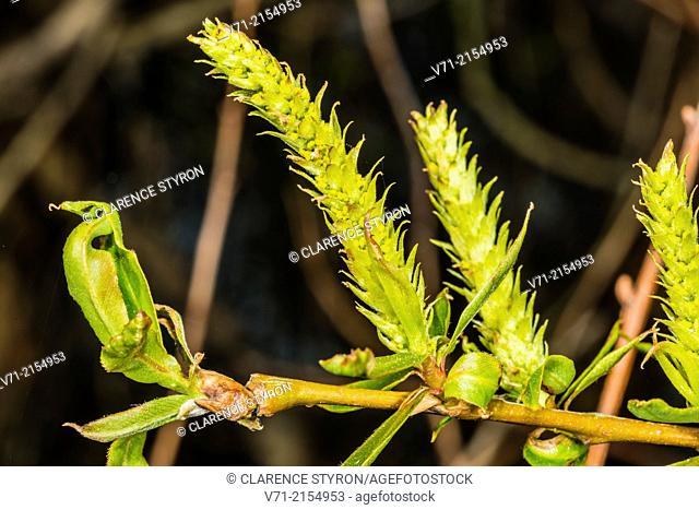 Willow (Salix caroliniana) Spring Leaf and Flower Buds