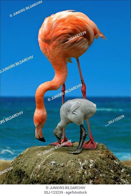 Caribbean flamingo - with cub / Phoenicopterus ruber ruber