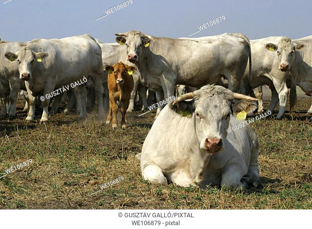 White charolais kind cow herd on the field