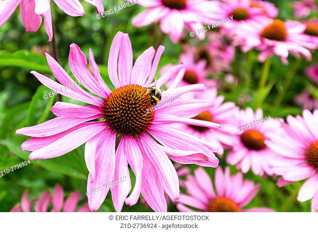 bee gathering nectar from echinacea flower