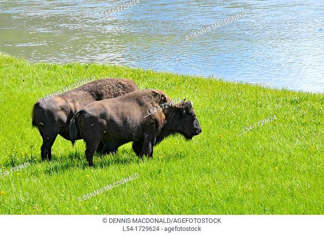 Buffalo Bison Yellowstone National Park Wyoming WY United States