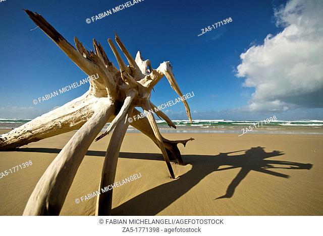 Driftwood monster  Seventy Five Mile Beach  Fraser Island, Great Sandy National Park, Queensland, Australia