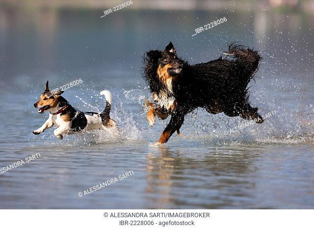 Jack Russell Terrier and Australian Shepherd jumping in water, North Tyrol, Austria, Europe