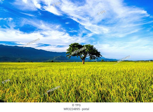 Taiwan;Taitung County;Chishang Township;Bolang Avenue;Jinchengwu Road;East Rift Valley;Rice;Rice Field