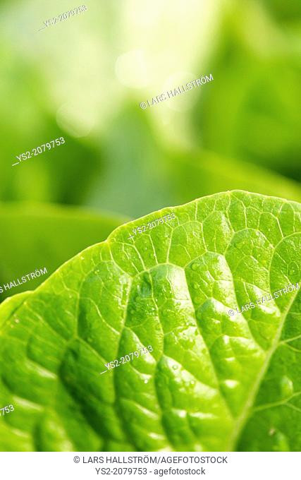 Romaine lettuce (Lactuca sativa var. longifolia) growing in garden