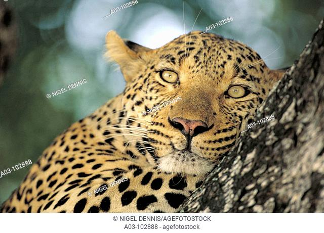 Male Leopard (Panthera pardus). Sabi Sabi Private Game Reserve. South Africa