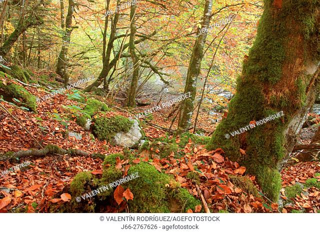 Beech forest in the forest of Irati. Navarra