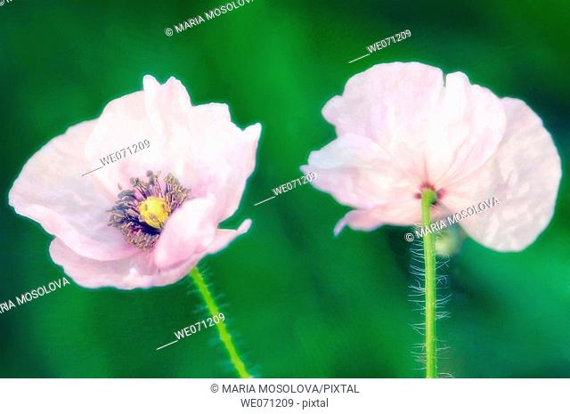 Two Light Pink Poppy Flowers. Papaver rhoeas. June 2005, Maryland, USA
