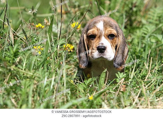A Beagle puppy in a meadow