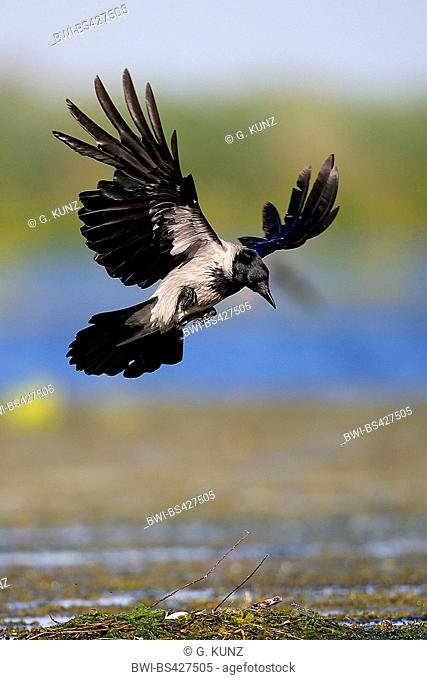 Hooded crow (Corvus corone cornix, Corvus cornix), landing, has a nest spotted in flight, Romania, Danube Delta