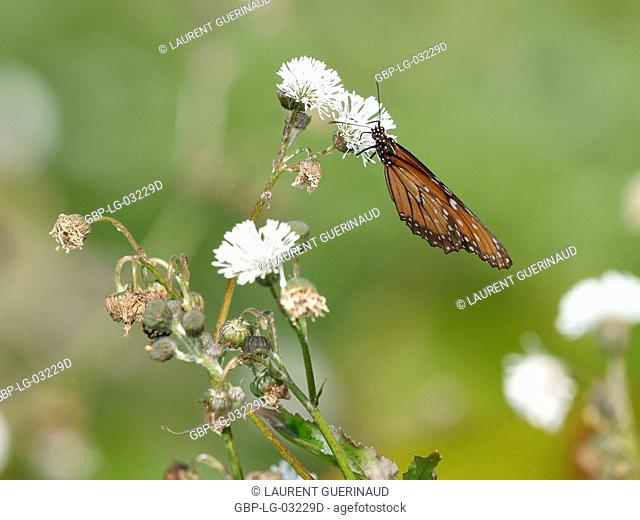 Insect, Butterfly-monarch, Pantanal, Mato Grosso do Sul, Brazil