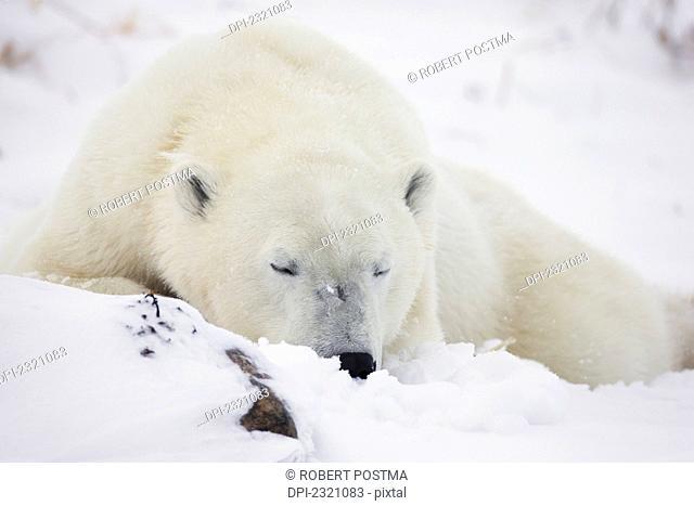 Polar Bear (Ursus Maritimus) Sleeping In The Snow;Churchill Manitoba Canada