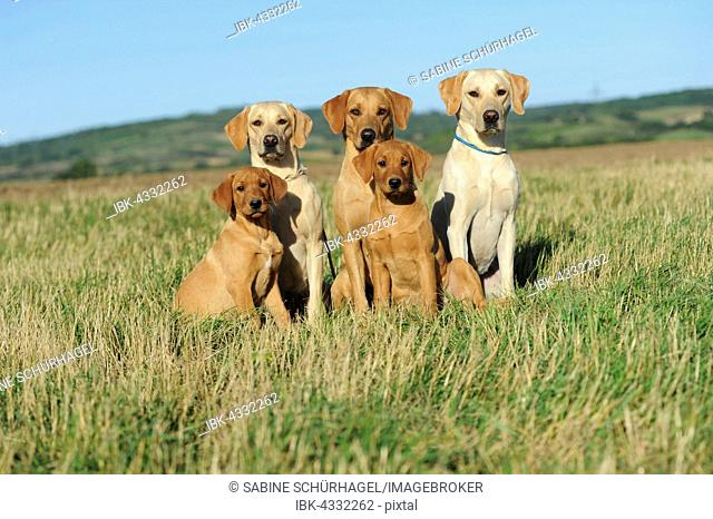 Labrador retriever, yellow, five dogs sitting in a meadow