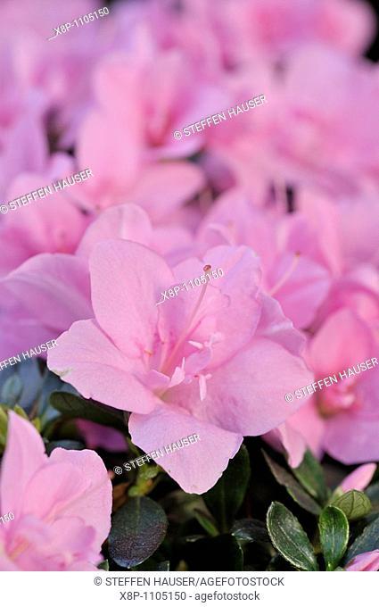 Azalea Rhododendron simsii 'Janique'