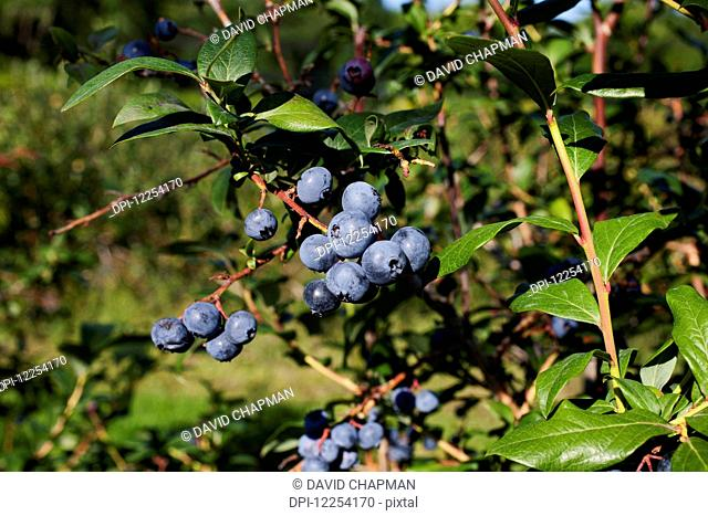 Blueberries growing on a tree; Dunham, Quebec, Canada