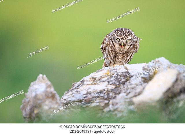 Little Owl (Athene noctua) perched on stones and calling. Lleida province. Catalonia. Spain