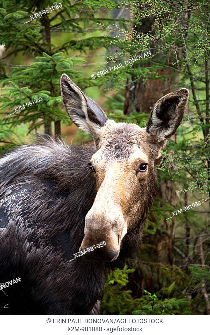 Moose on the side of the Kancamagus Highway route 112, during the spring months  Located in the White Mountains, New Hampshire USA