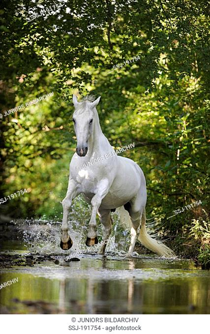 Lipizzan Horse. Grey adult galopping in shallow water. Germany