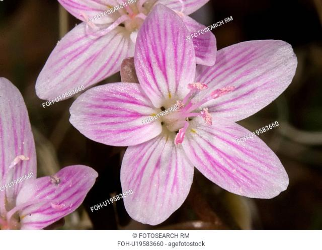 people spring beauty claytonia virginica in good