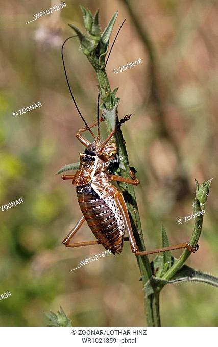 Barbitistes fischeri, Long-horned grasshopper