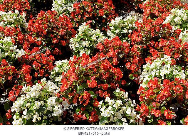 Wax begonia (Begonia x semperflorens-cultorum), white and red, Germany
