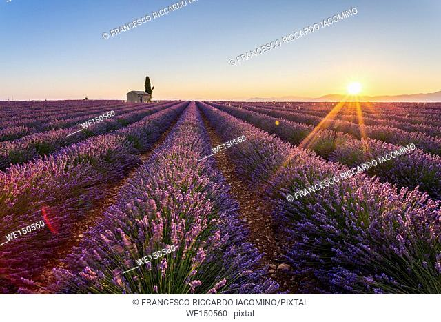 Provence, Valensole Plateau, France, Europe. Lonely farmhouse and cypress tree in a Lavender field in bloom, sunrise with sunburst