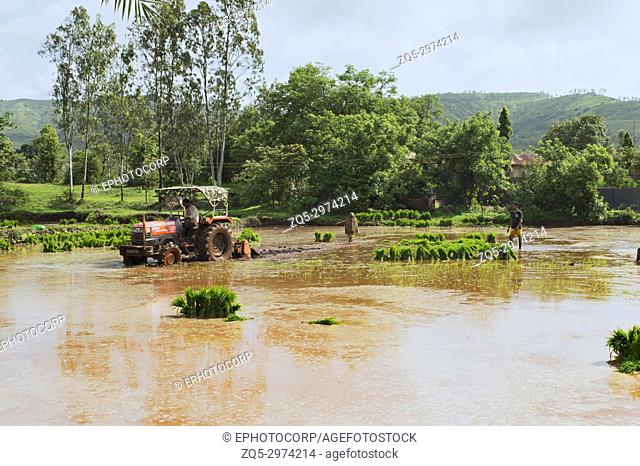 Tractor plowing paddy fields before planting rice